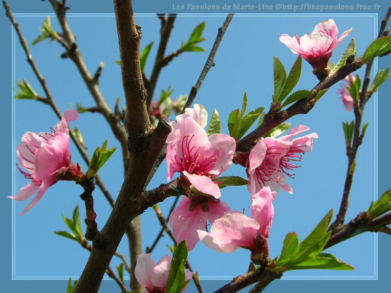 mes fleurs : arbres en fleurs