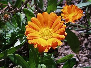 Les soucis fleurissent dès les premiers jours de Mars et ce sont des  fleurs sans soucis !!! Cette jolie plante aux fleurs oranges,  quelquefois jaunes,