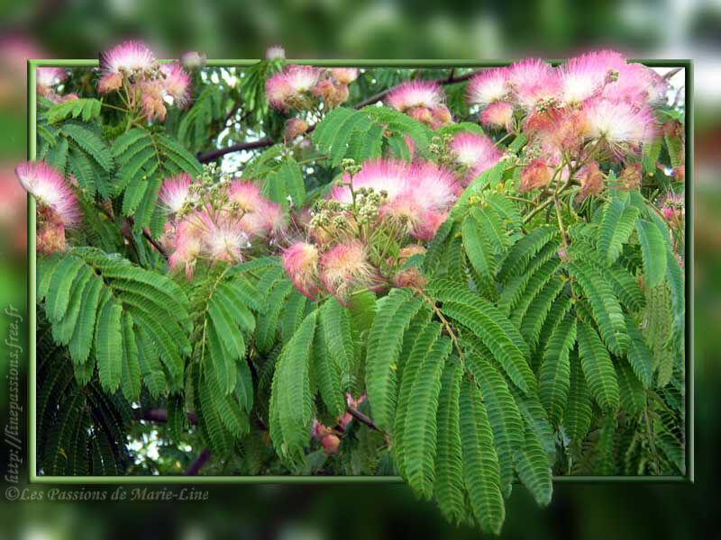 Mimosas - Arbre japonais rose ...