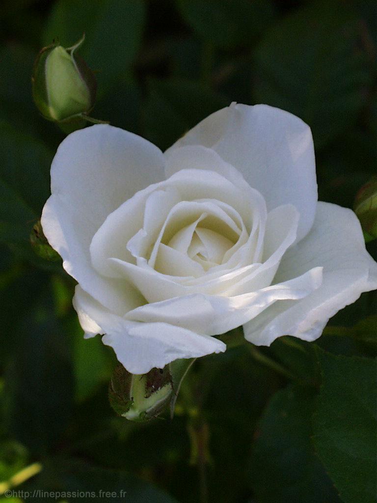 Mes fleurs : Les Roses