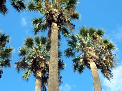 palmiers washingtonia