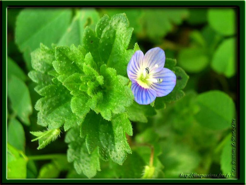 Véronique, petite fleur bleue des champs