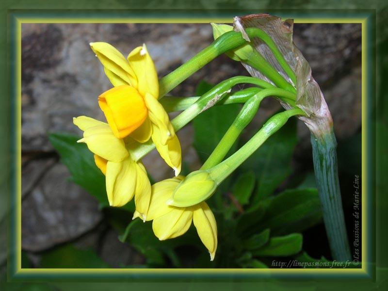 Narcisses blancs Narcisses jaunes Jonquille