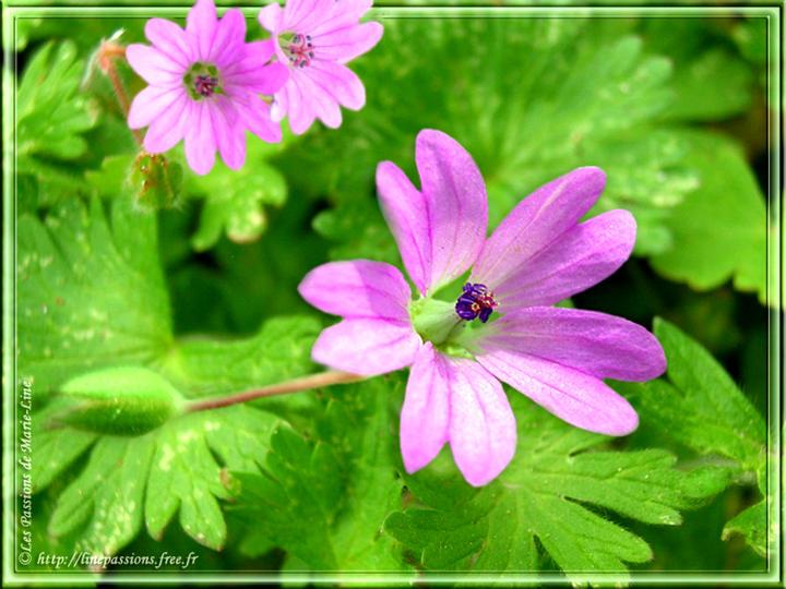 Mes fleurs g raniums et p largoniums - Geranium feuilles qui jaunissent ...