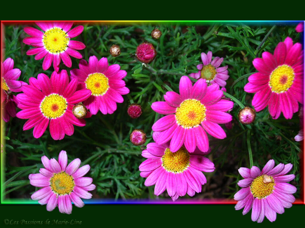 anthémis multicolore - la photo du jour de marie-line