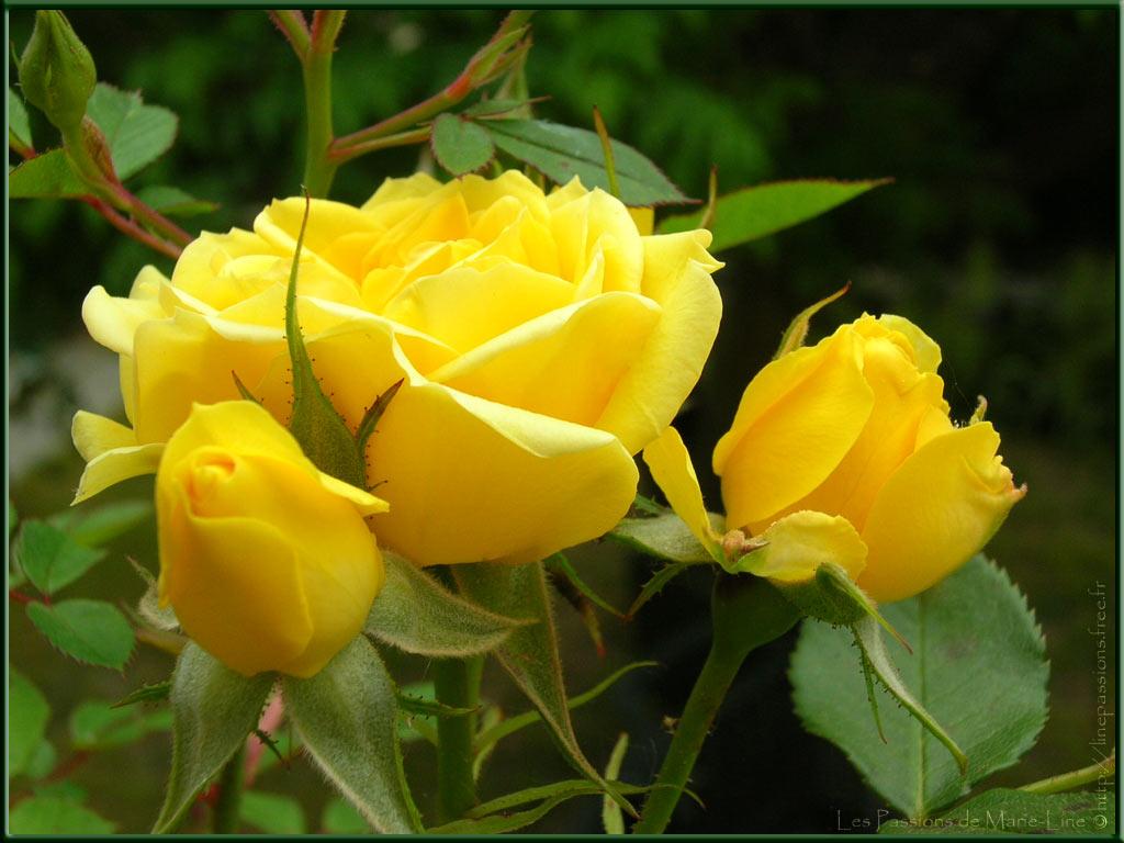 chaque jour un saint  - Page 2 05-29_Roses-jaunes_1024