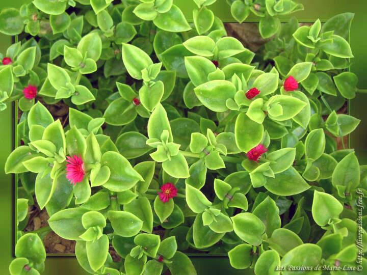 les ficoïdes - petites fleurs de mon jardin