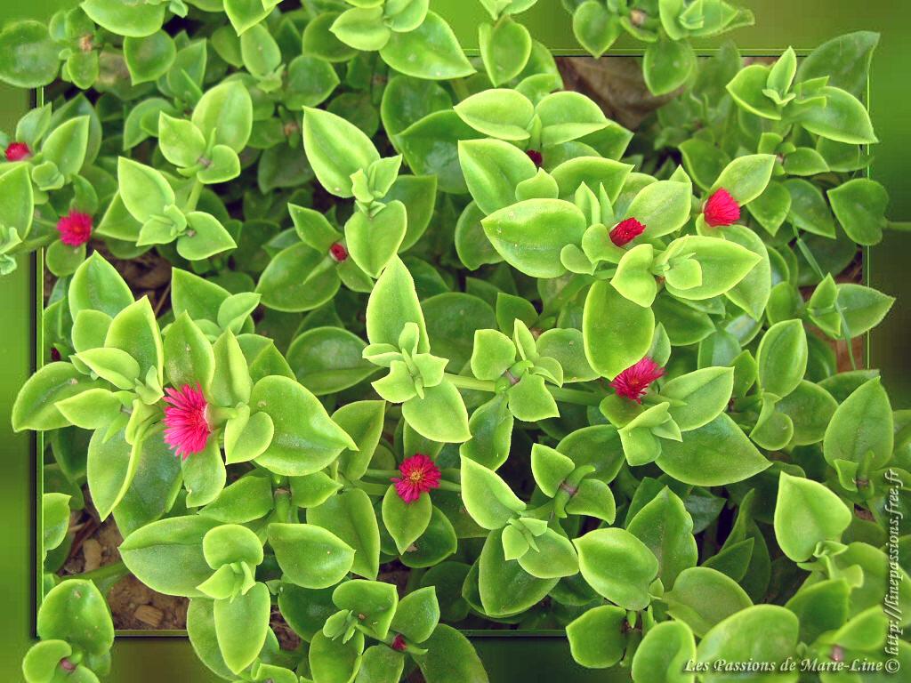 Aptenia la photo du jour de marie line for Plante verte interieur facile