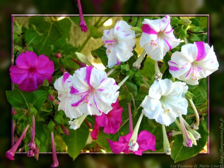 r solu jolies fleurs et belles plantes page 15 le. Black Bedroom Furniture Sets. Home Design Ideas