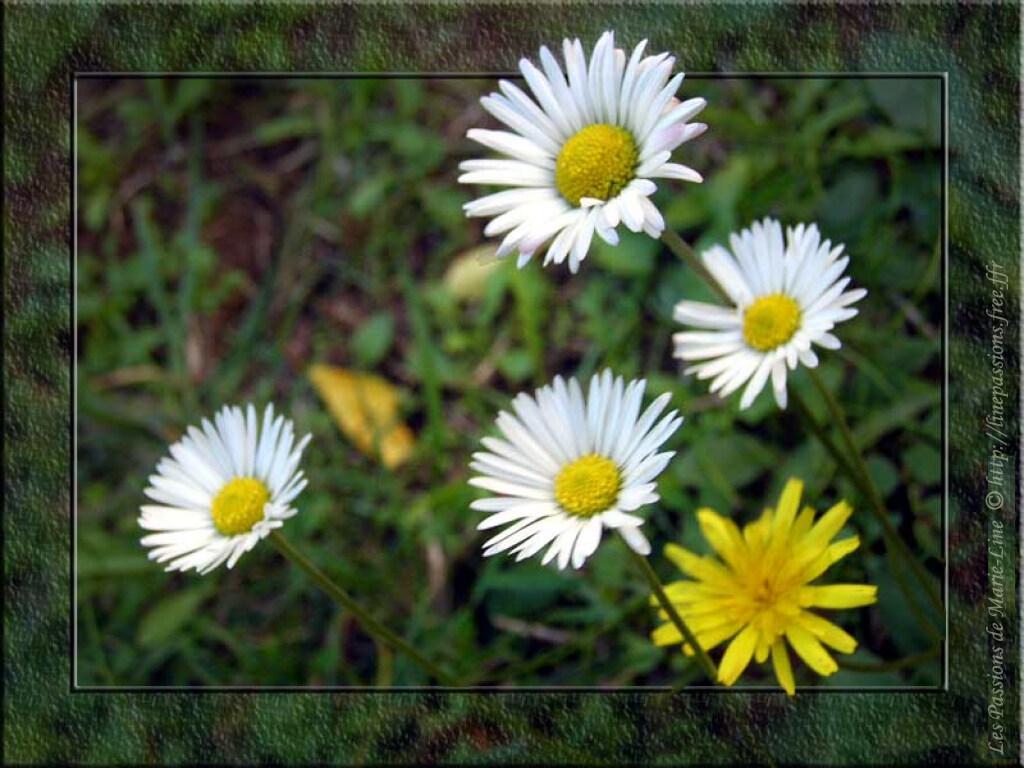 fleurs reine marguerite