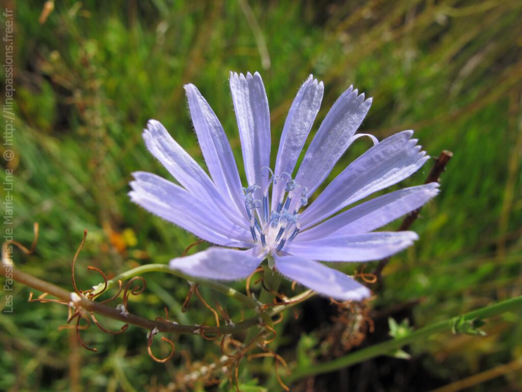 Jolies fleurs bleues de la chicorée sauvage