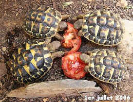 4 tortues et 2 tranches de tomates